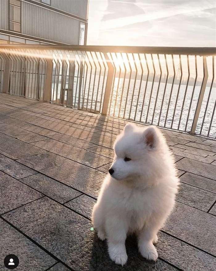 Kinh nghiệm mua chó samoyed