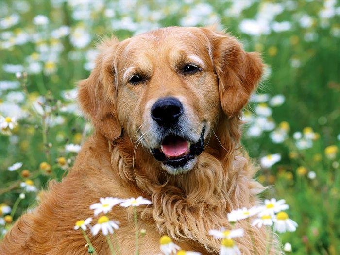 Nguồn gốc giống chó Golden Retriever