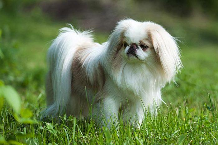 Đặc điểm chó Nhật lông xù