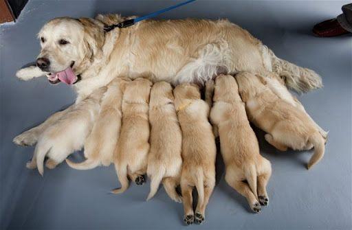 Giá chó Golden Retriever tại Việt Nam