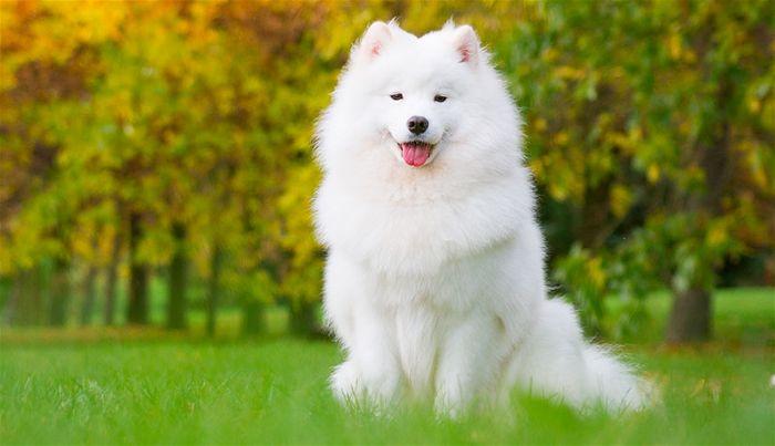Tính cách của chó samoyed