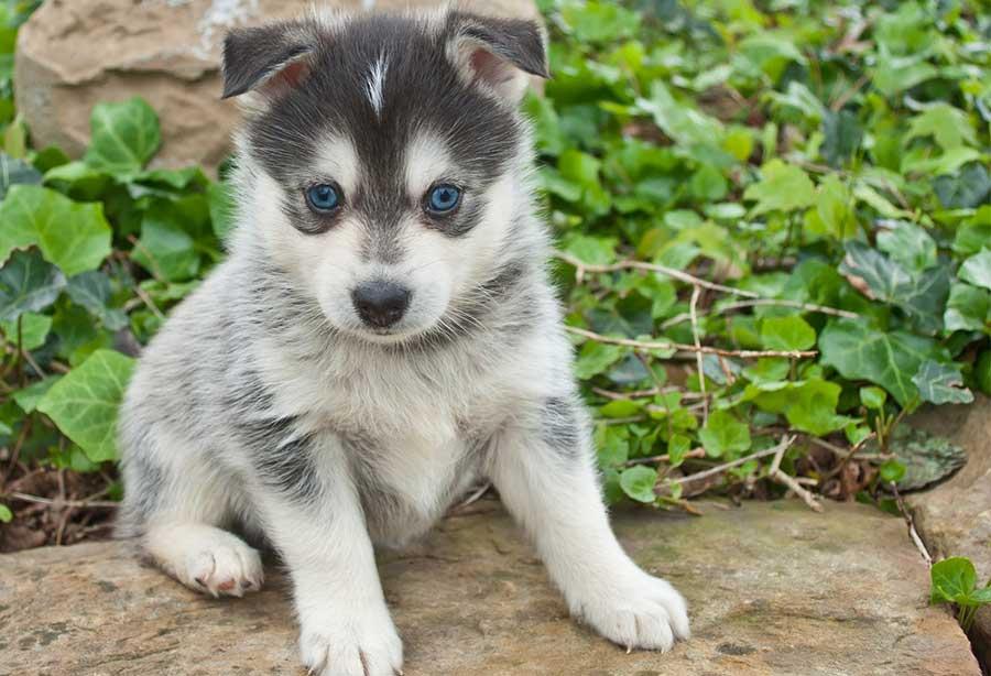 giá chó Husky thuần chủng