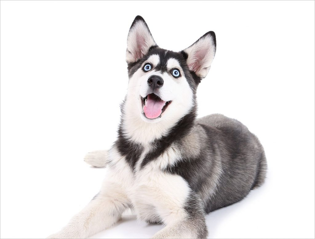 Nguồn gốc giống chó Husky