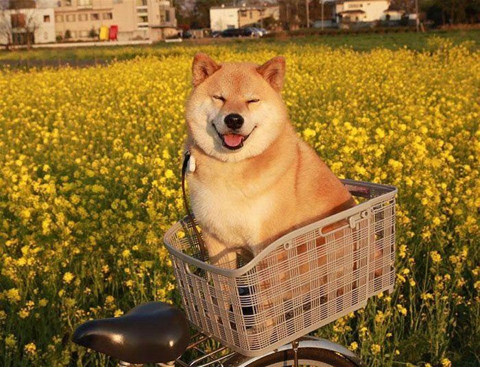 Đặc điểm giống chó Shiba Inu