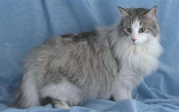 Đặc điểm, lai lịch mèo Anh lông dài