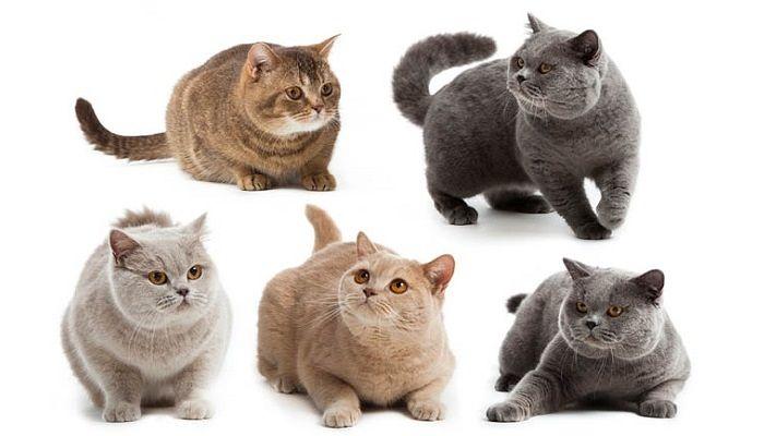 Ngoại hình các giống mèo Anh lông ngắn